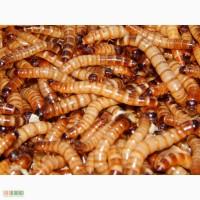 Продам зофобоса, таракана блаберус кранифер.