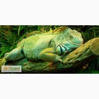 Зеленая игуана ( iguana )