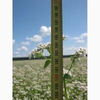 Канадские семена гречки Гренби - 1реп