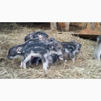 Продам свиноматок породы венгерская мангалица