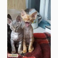 Продам уникальных котят пароды Девон-рекс