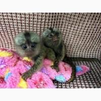 Красивые обезьяны-мартышки для усыновления