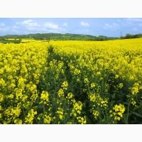 Насіння озимого ріпаку/якісне насіння ріпаку/доставка по Україні