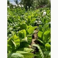 Семена табака, 93 сорта