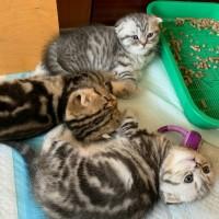 Продаю котят шотландская вислоухая