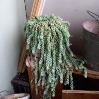 Очиток Моргана (Sedum morganianum)