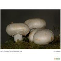 Мицелий вешенки, грибница шампиньона, рассада лесных грибов - семена грибов почтой