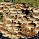 Мицелий грибов шиитаке, рейши, мейтаке, муэр, энокитаке, чага, шампиньон