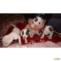Продам щенков американского бульдога