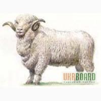 Продам племенных овец живым весом 35 грн./кг