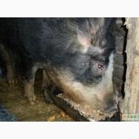 Продажа Свинья породы Венгерская мангалица (Мангал, Мангалица, выпасная свинья) 6700 грн.