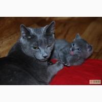 Русские голубые котята в Киеве!