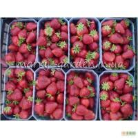 Продам СВОЮ рассаду земляники садовой (клубники) фриго