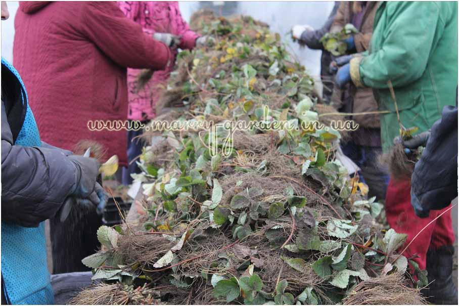 Выращивание рассады клубники фриго 10
