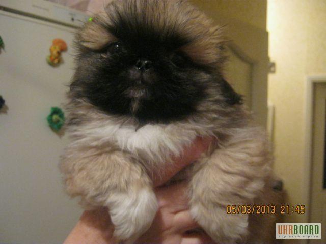 Продам щенков пекинеса клубные