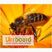 Продам пчелосемьи