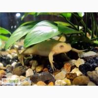 Желтые и серые лягушки для аквариума! Доставка