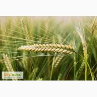 Семена ячменя ярового «Патриций»