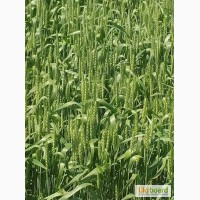 Насіння ярої пшениці Елегія Миронівська (еліта, перша)