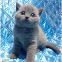 Котята британские. Фото - настоящие