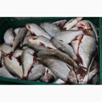 Продам речную рыбу оптом в ассортименте