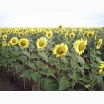 Семена подсолнечника Limagrain LG 5550