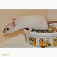 Крысята из питомника Rats of Narnia - Крыса Декоративная