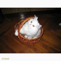 Продам чистокровного персидского котёнка