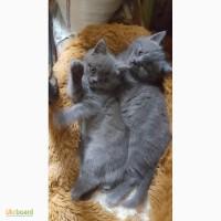 Продам кошенят