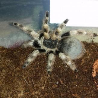 Взрослая самка Nhandu coloratovillosus, для новичка