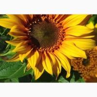 Скоростиглий соняшник – ультраскоростиглі гібриди соняшнику