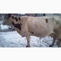 Продам добру молочну корову