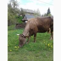 Продам корову. Хороша. 13 500грн