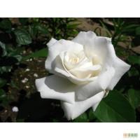 Пропонуємо до продажу високоякісні саджанці плодових дерев,троянд