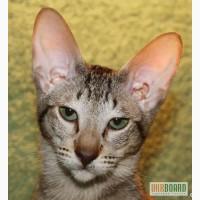 Ориентальный котенок окраса макрель