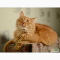 Пушистый сибирский рыжий кот