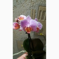 Мини орхидея/ отцветашки