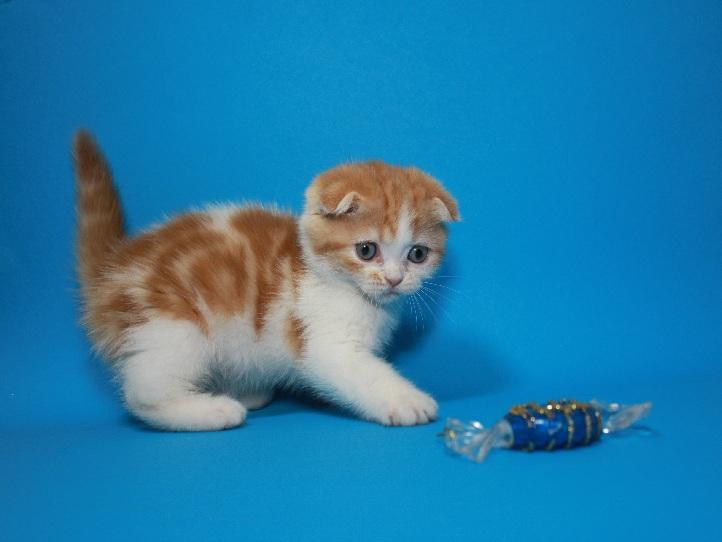 Вислоухий яркий чистокровный котёнок