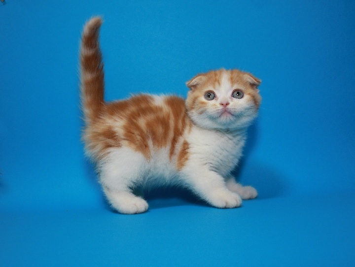 Фото 2. Вислоухий яркий чистокровный котёнок