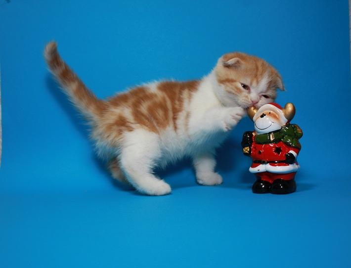 Фото 3. Вислоухий яркий чистокровный котёнок