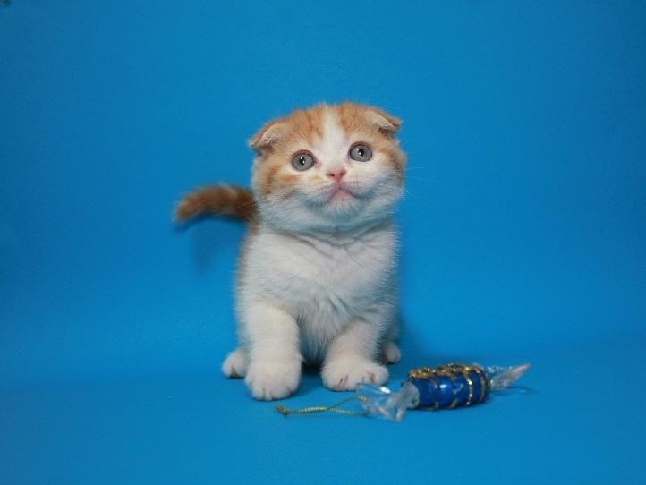 Фото 4. Вислоухий яркий чистокровный котёнок
