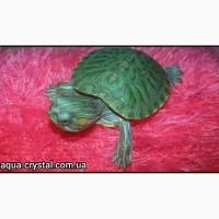 Маленькие красноухие черепашки 4-5см. Интернет-магазин. Доставка по Украине