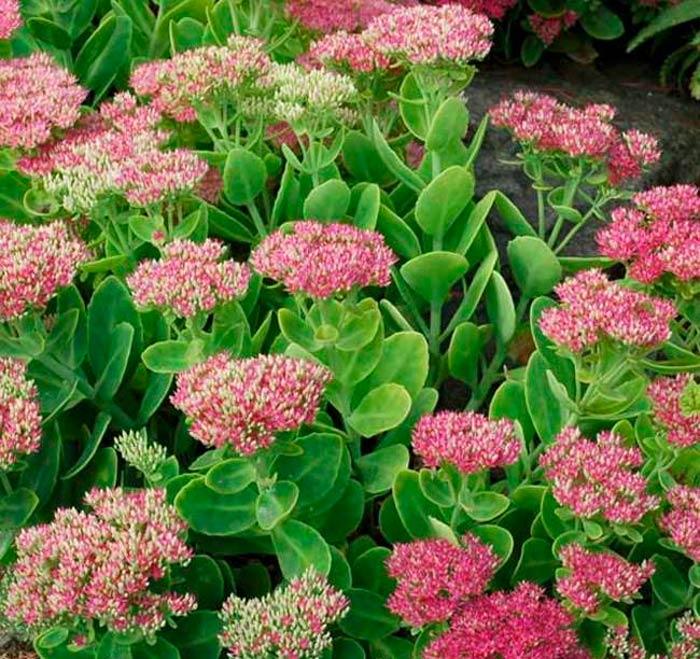 этом ходе садовые цветы с мясистыми листьями фото истории данного