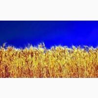 Купуємо пшеницю 2-4 класу