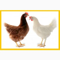 Реализуем инкубационное яйцо Ломан Браун ломан вайт Леггорн Доминант несушка