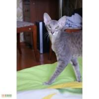 Продам Ориентального котенка