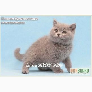 Голубой британский котенок в новый дом