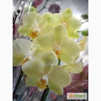 Желтая орхидея в Киеве