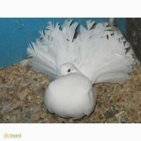 Продам ростовских статных голубей, белых павлинов, американов