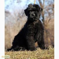 Продам щенков черного терьера от Интерчемпиона